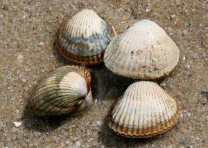 Coques sur le sable
