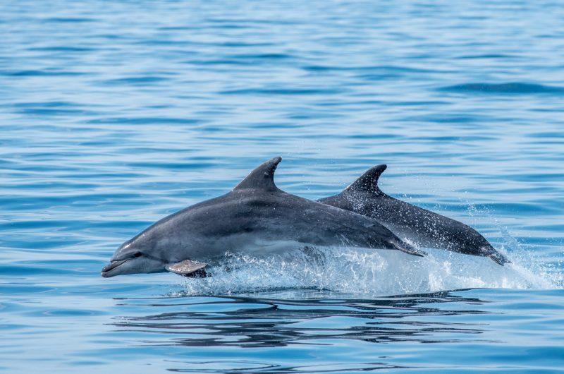 Faune Océan – grand-dauphin