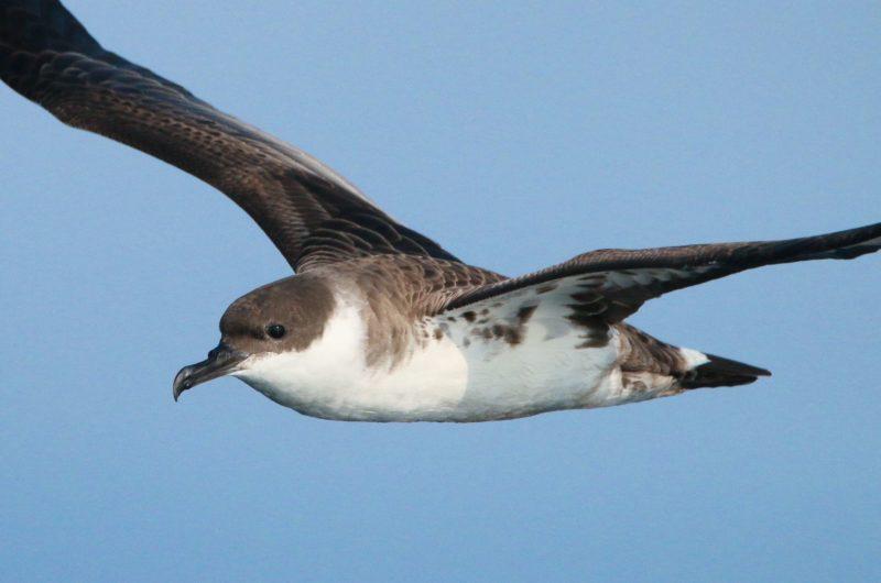 Faune Océan –  Puffin majeur en vol